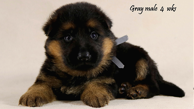 Solo x Philly - 4 Weeks Gray Collar Male