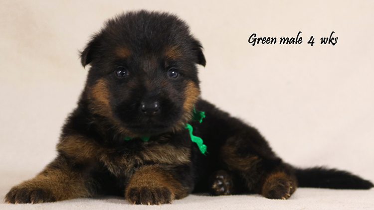 Solo x Philly - 4 Weeks Green Collar Male