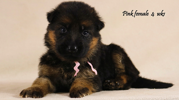 Solo x Philly - 4 Weeks Pink Collar Female