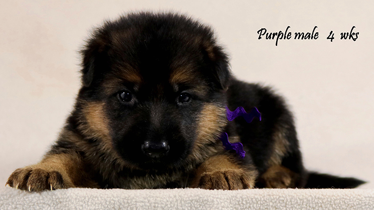 Solo x Philly - 4 Weeks Purple Collar Male
