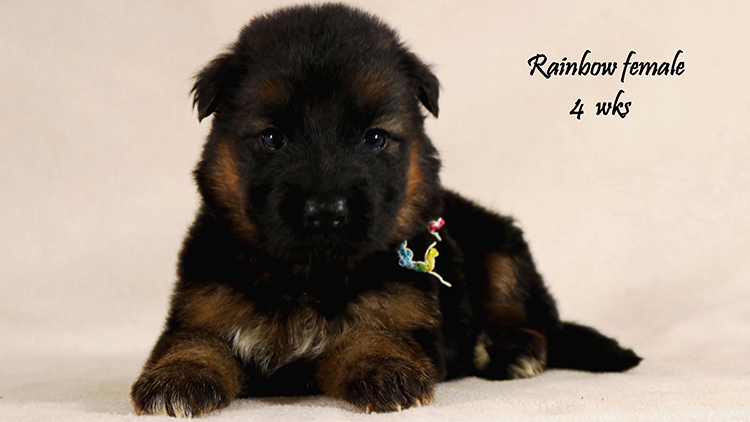 Solo x Philly - 4 Weeks Rainbow Collar Female