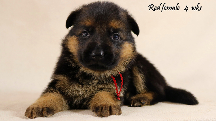 Solo x Philly - 4 Weeks Red Collar Female