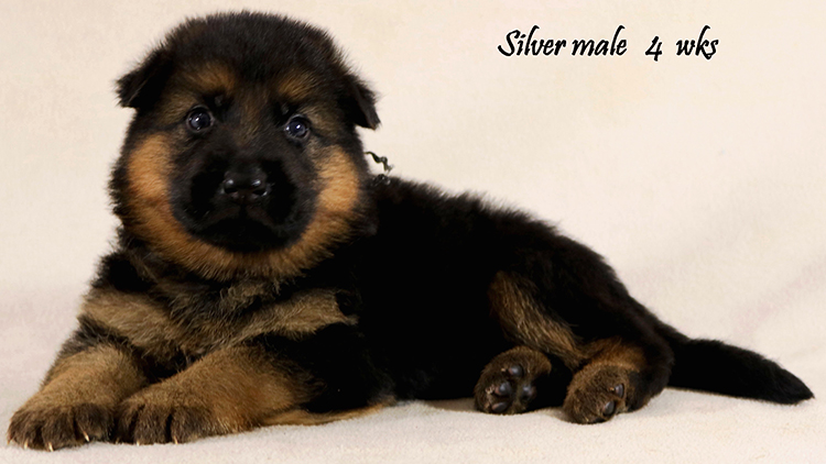 Solo x Philly - 4 Weeks Silver Collar Male