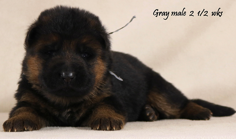 Ikon x Xtra - 2 and Half Weeks Gray Collar Male