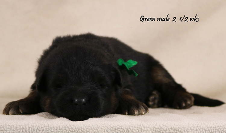 Ikon x Xtra - 2 and Half Weeks Green Collar Male