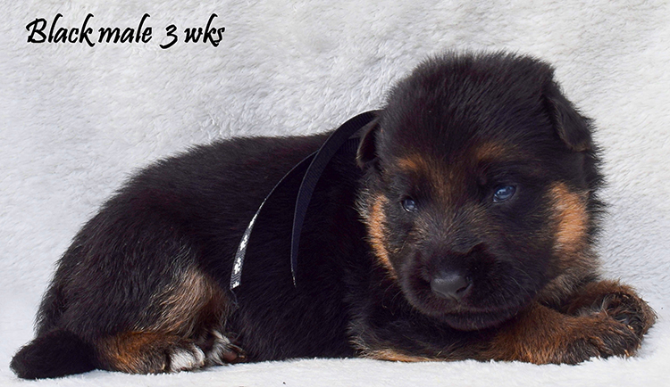 Solo x Anadja - 3 Weeks Black Collar Male