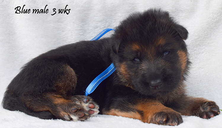 Solo x Anadja - 3 Weeks Blue Collar Male