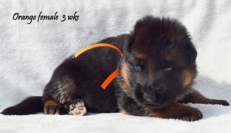Solo x Anadja - 3 Weeks Orange Collar Female