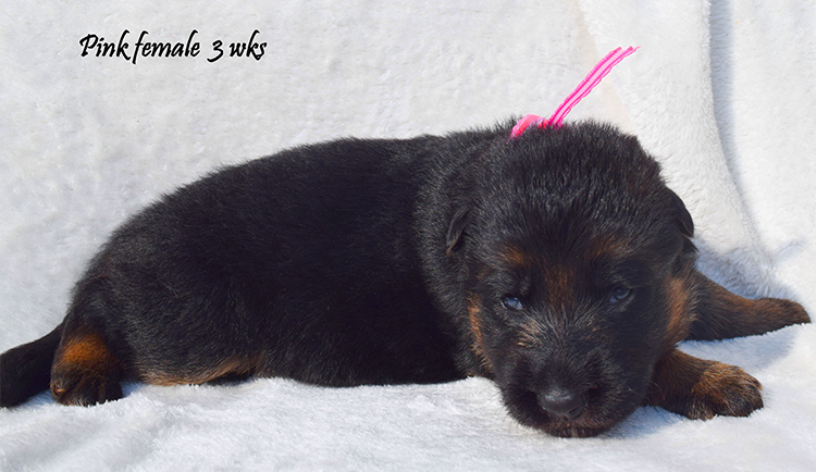 Solo x Anadja - 3 Weeks Pink Collar Female