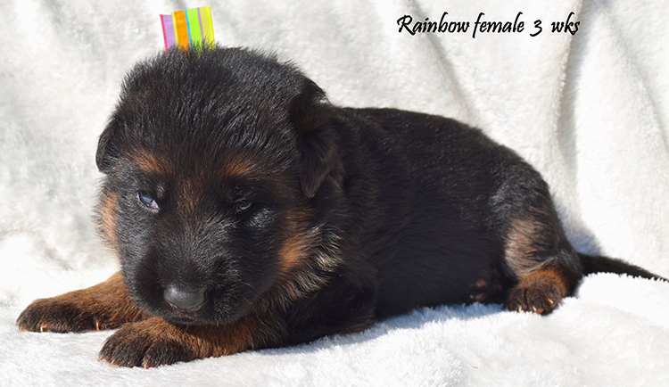Solo x Anadja - 3 Weeks Rainbow Collar Female