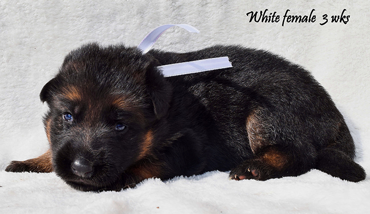 Solo x Anadja - 3 Weeks White Collar Female