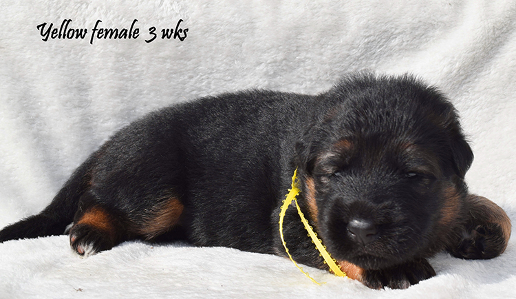 Solo x Anadja - 3 Weeks Yellow Collar Female