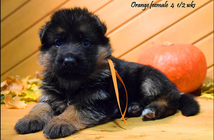 Solo x Anadja - 4 and Half Week Orange Collar Female