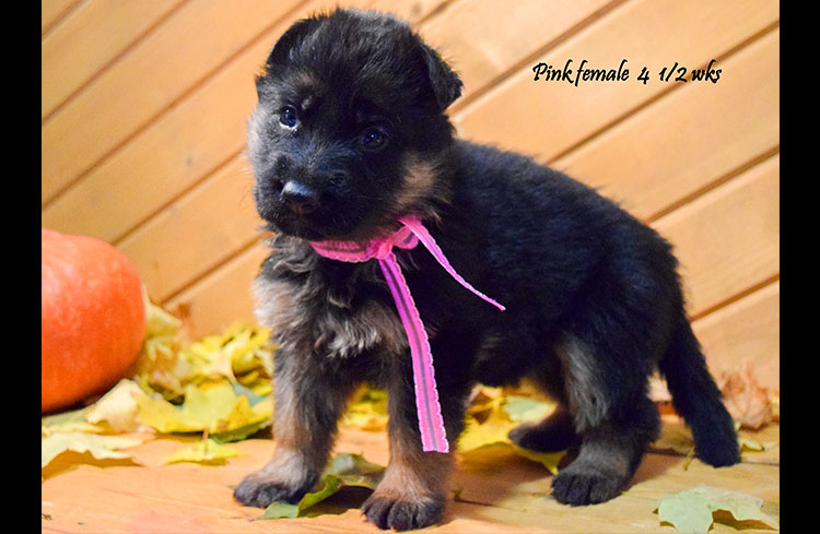 Solo x Anadja - 4 and Half Week Pink Collar Female