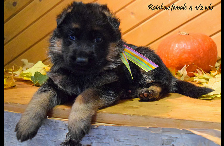 Solo x Anadja - 4 and Half Week Rainbow Collar Female
