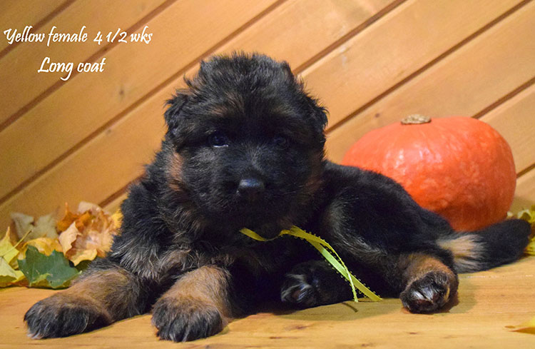 Solo x Anadja - 4 and Half Week Yellow Collar Female 2