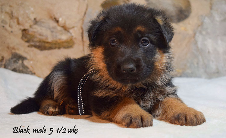 Solo x Anadja - 5 and Half Weeks Black Collar Male