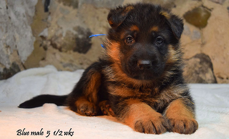 Solo x Anadja - 5 and Half Weeks Blue Collar Male