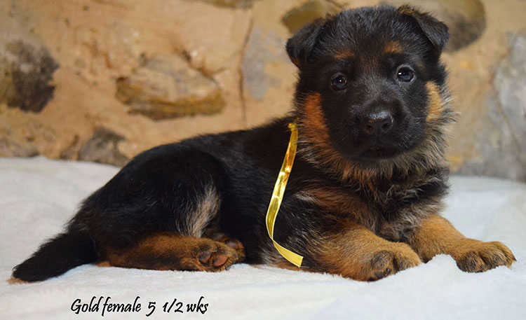 Solo x Anadja - 5 and Half Weeks Gold Collar Female