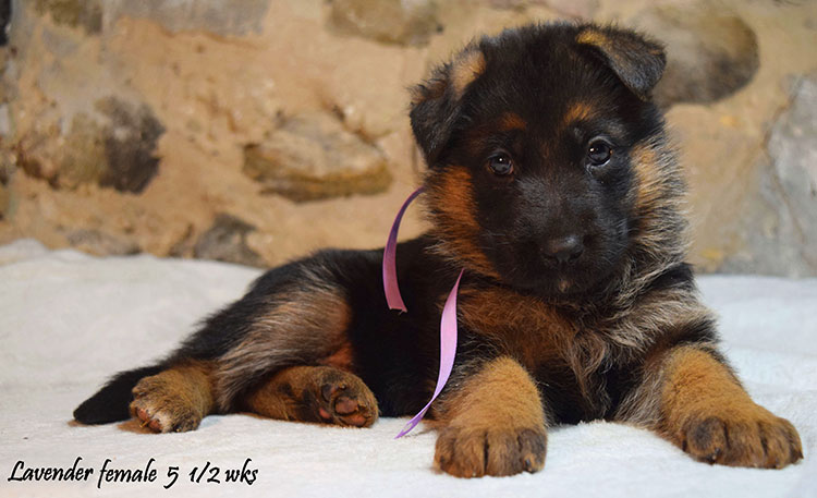 Solo x Anadja - 5 and Half Weeks Lavender Collar Female