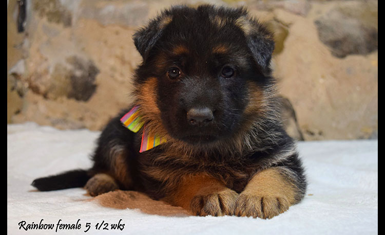 Solo x Anadja - 5 and Half Weeks Rainbow Collar Female