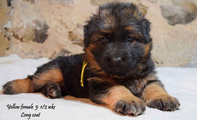 Solo x Anadja - 5 and Half Weeks Yellow Collar Female