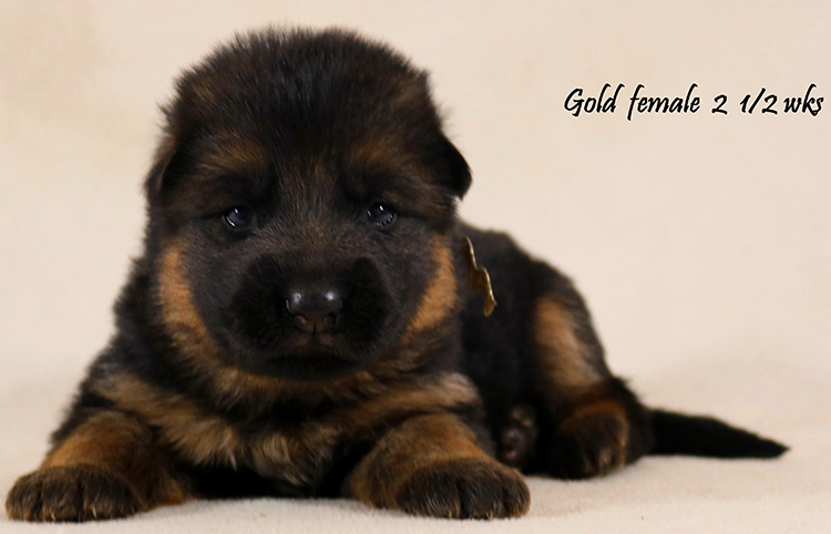 Solo x Coby - 2 and Half Week Gold Collar Female