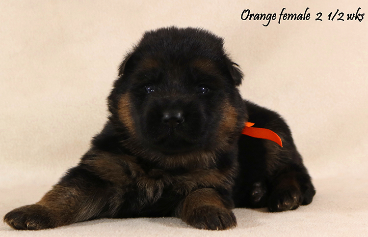 Solo x Coby - 2 and Half Week Orange Collar Female