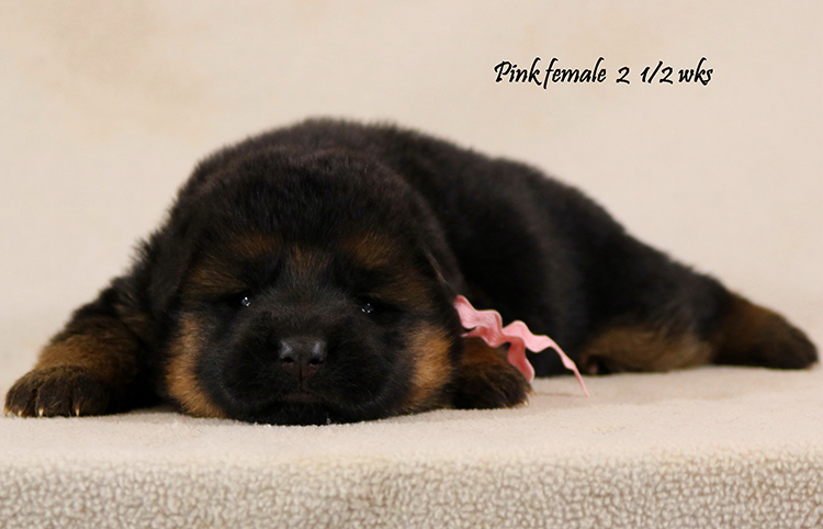 Solo x Coby - 2 and Half Week Pink Collar Female