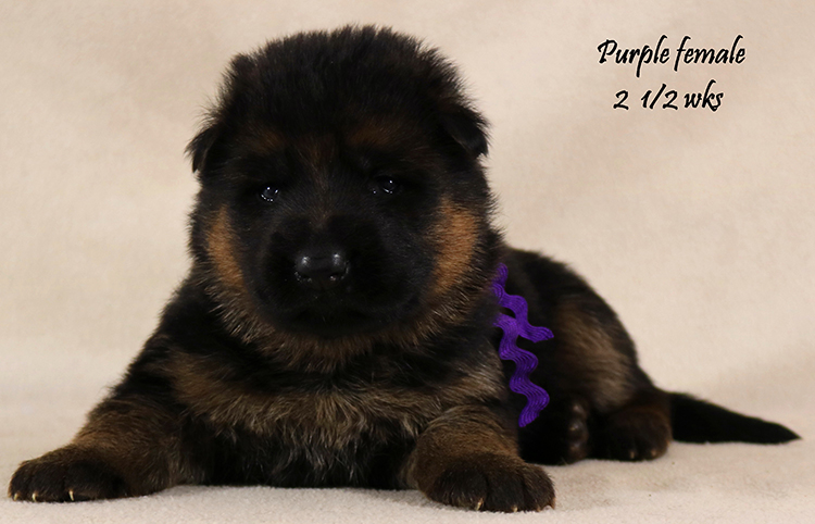 Solo x Coby - 2 and Half Week Purple Collar Female
