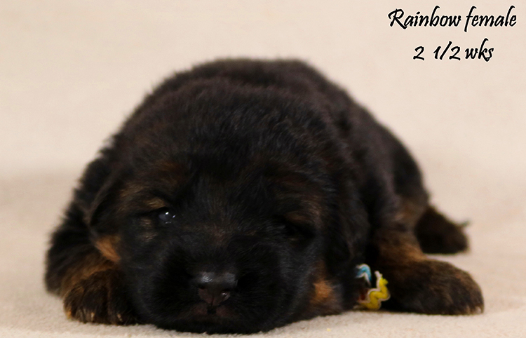 Solo x Coby - 2 and Half Week Rainbow Collar Female