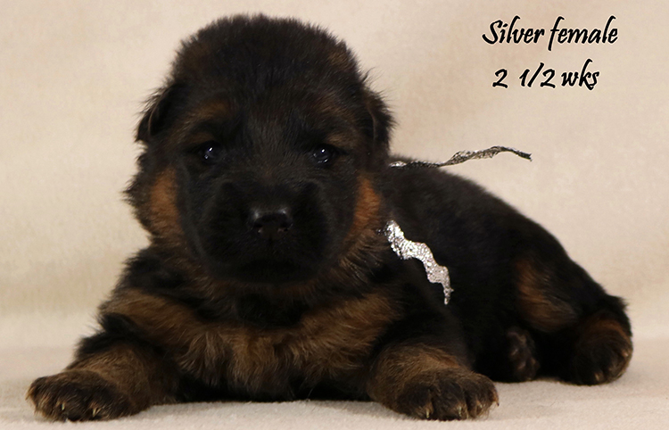 Solo x Coby - 2 and Half Week Silver Collar Female