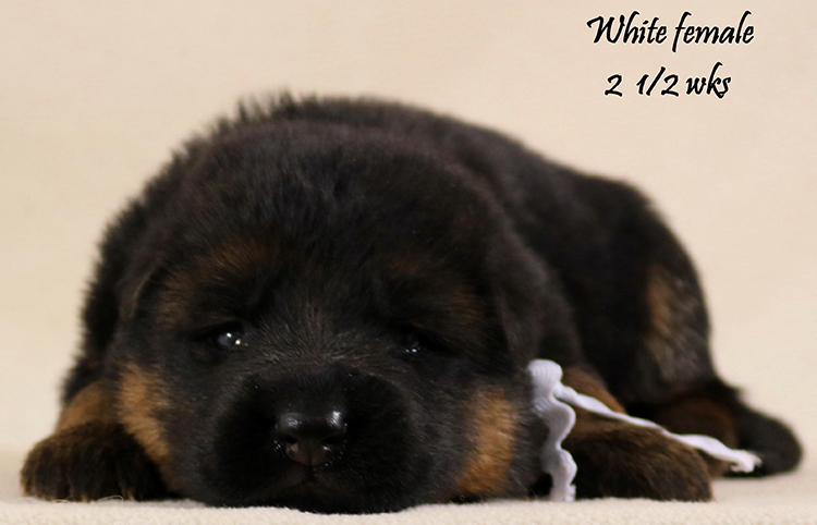 Solo x Coby - 2 and Half Week White Collar Female