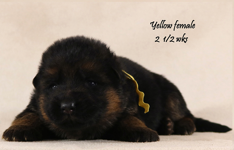 Solo x Coby - 2 and Half Week Yellow Collar Female