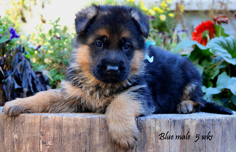 Solo x Coby - 5 Weeks Blue Collar Male