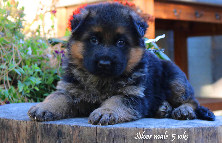 Solo x Coby - 5 Weeks Silver Collar Male