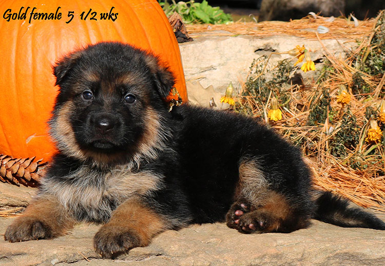 Solo x Coby - 5 and Half Week Gold Collar Female