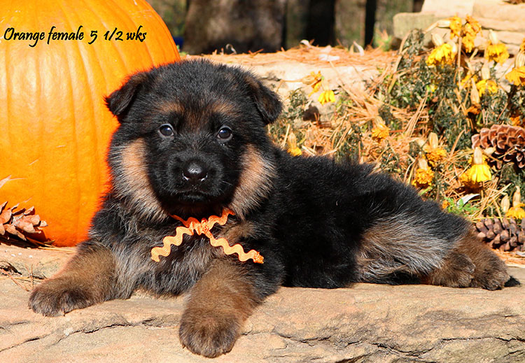 Solo x Coby - 5 and Half Week Orange Collar Female