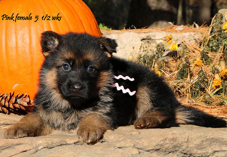 Solo x Coby - 5 and Half Week Pink Collar Female