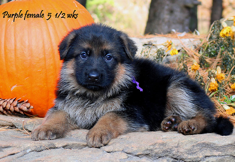 Solo x Coby - 5 and Half Week Purple Collar Female
