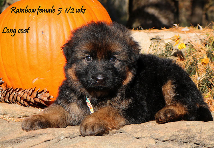 Solo x Coby - 5 and Half Week Rainbow Collar Female