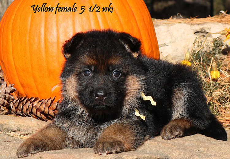 Solo x Coby - 5 and Half Week Yellow Collar Female