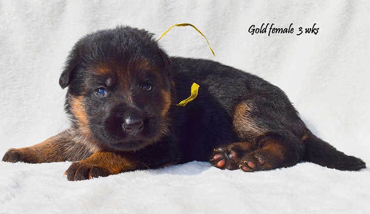 Solo x Nadja - 3 Weeks Gold Collar Female