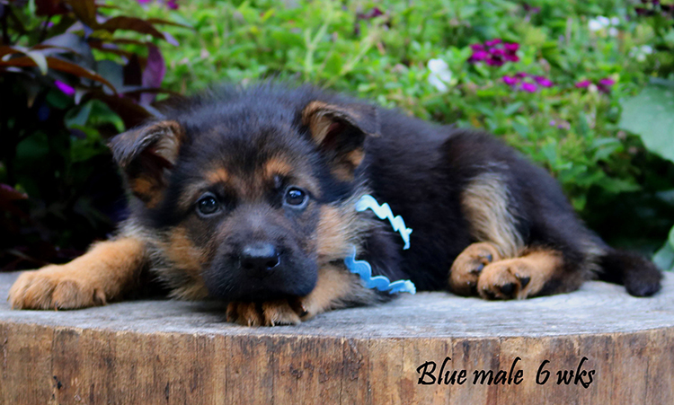 Solo x Philly - 6 Weeks Blue Collar Male