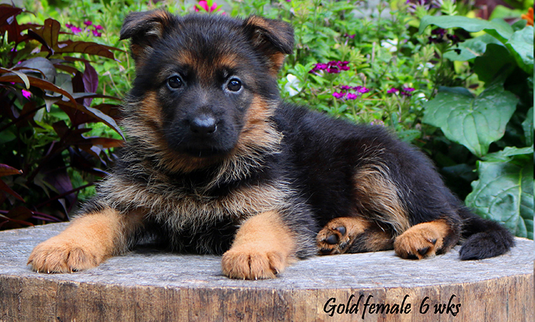 Solo x Philly - 6 Weeks Gold Collar Female