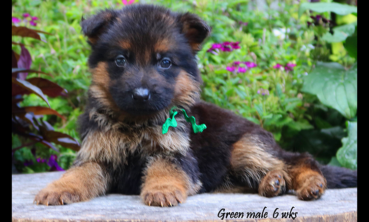 Solo x Philly - 6 Weeks Green Collar Male