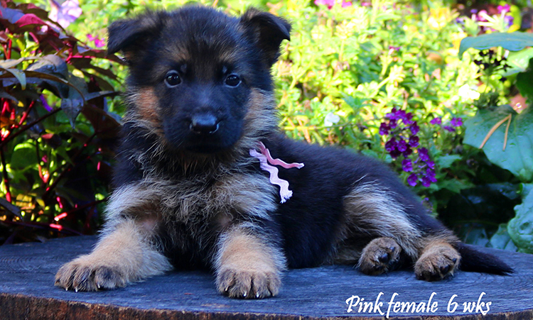 Solo x Philly - 6 Weeks Pink Collar Female