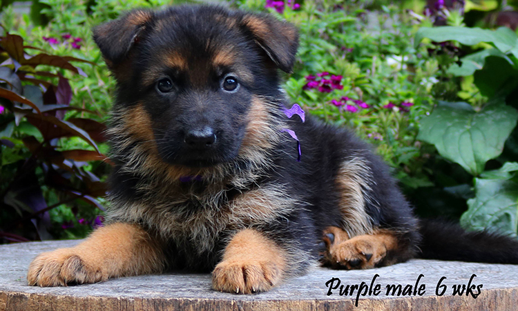 Solo x Philly - 6 Weeks Purple Collar Male
