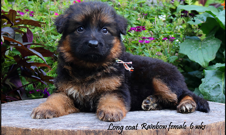 Solo x Philly - 6 Weeks Rainbow Collar Female
