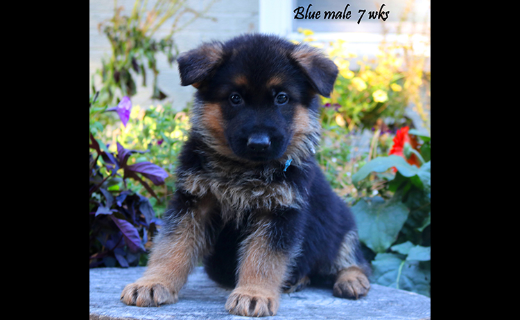 Solo x Philly - 7 Weeks Blue Collar Male